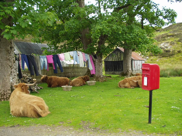 Highland cows near Plockton